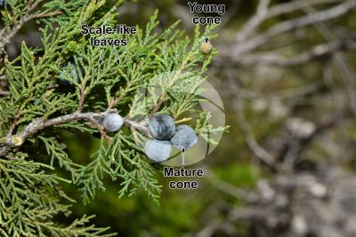 Juniperus foetidissima. Foetid juniper. Strobilus