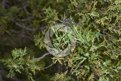 Juniperus foetidissima. Strobilo