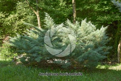 Juniperus horizontalis. Creeping juniper