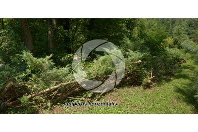 Juniperus horizontalis. Ginepro orizzontale