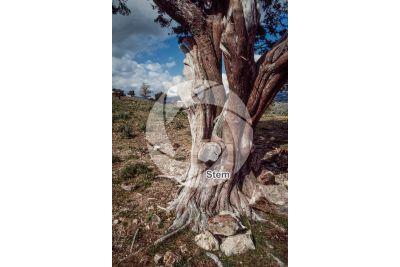 Juniperus oxycedrus. Cade juniper. Stem