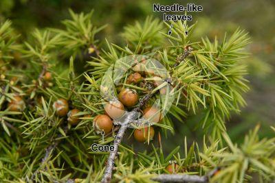 Juniperus oxycedrus. Cade juniper. Strobilus