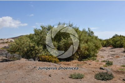 Juniperus phoenicea. Phoenicean juniper