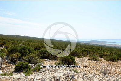 Juniperus phoenicea. Ginepro fenicio