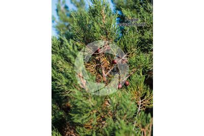 Juniperus phoenicea. Ginepro fenicio. Strobilo