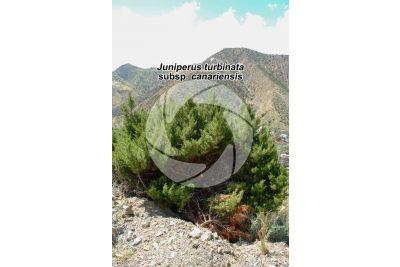 Juniperus turbinata subsp canariensis
