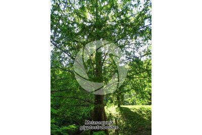 Metasequoia glyptostroboides. Dawn redwood