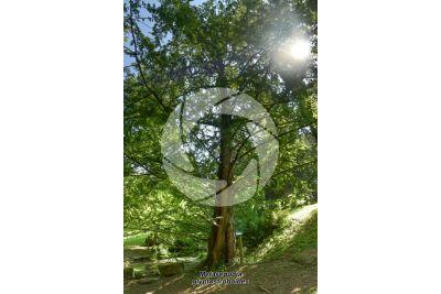 Metasequoia glyptostroboides. Abete d'acqua