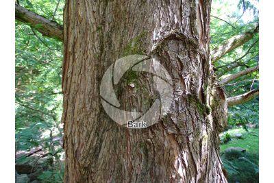 Metasequoia glyptostroboides. Dawn redwood. Stem