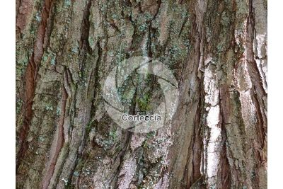 Metasequoia glyptostroboides. Abete d'acqua. Fusto