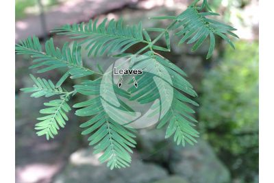 Metasequoia glyptostroboides. Dawn redwood. Leaf