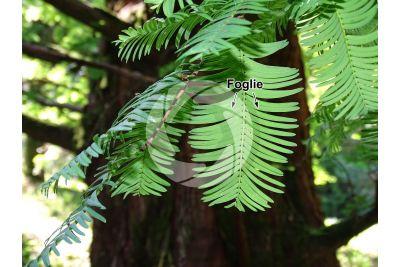 Metasequoia glyptostroboides. Abete d'acqua. Foglia
