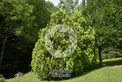 Platycladus orientalis. Oriental arborvitae