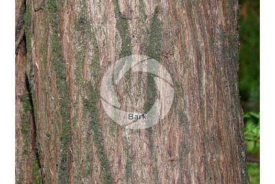 Platycladus orientalis. Oriental arborvitae. Stem