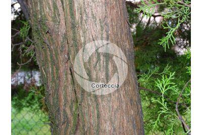 Platycladus orientalis. Tuia orientale. Fusto