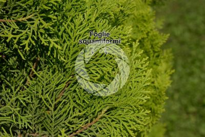 Platycladus orientalis. Tuia orientale. Foglia