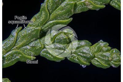 Platycladus orientalis. Tuia orientale. Foglia. 7X