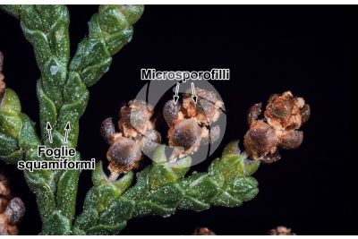 Platycladus orientalis. Tuia orientale. Strobilo maschile