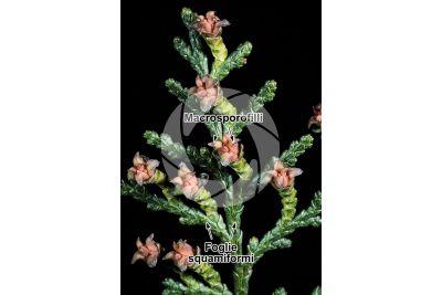 Platycladus orientalis. Tuia orientale. Strobilo femminile