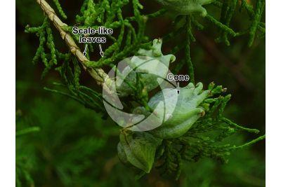 Platycladus orientalis. Oriental arborvitae. Strobilus