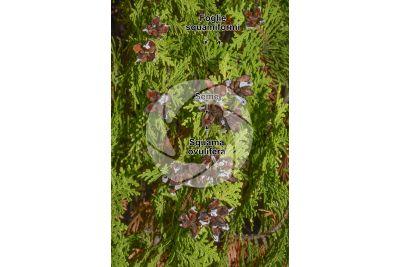 Platycladus orientalis. Tuia orientale. Strobilo