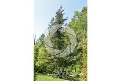 Sequoia sempervirens. Coast redwood