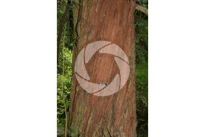 Sequoia sempervirens. Coast redwood. Stem