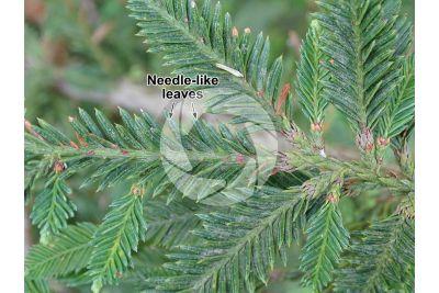 Sequoia sempervirens. Coast redwood. Leaf. Upper surface