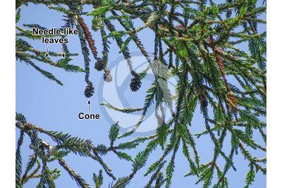 Sequoia sempervirens. Coast redwood. Strobilus