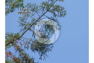 Sequoia sempervirens. Sequoia sempreverde. Strobilo