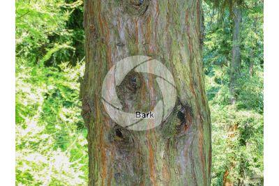 Sequoiadendron giganteum. Giant sequoia. Stem