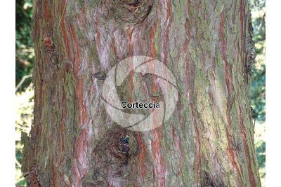 Sequoiadendron giganteum. Sequoia gigante. Fusto