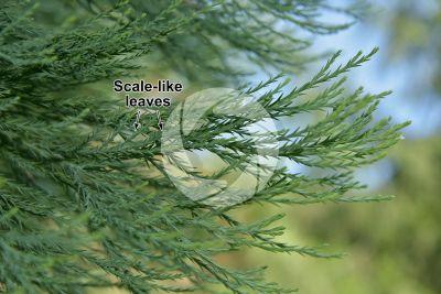 Sequoiadendron giganteum. Giant sequoia. Leaf