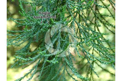 Sequoiadendron giganteum. Sequoia gigante. Foglia