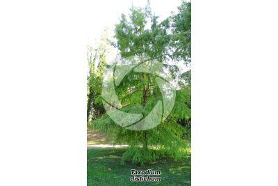 Taxodium distichum. Bald cypress