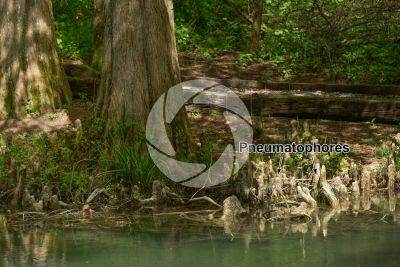 Taxodium distichum. Bald cypress. Root