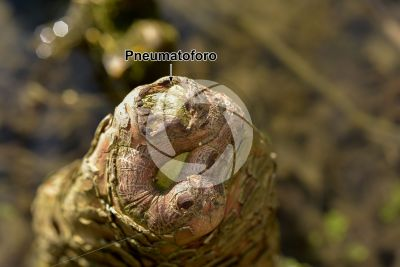 Taxodium distichum. Cipresso calvo delle paludi. Radice
