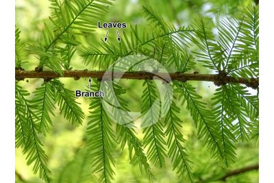 Taxodium distichum. Bald cypress. Leaf. Lower surface