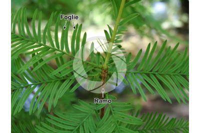 Taxodium distichum. Cipresso calvo delle paludi. Foglia. Pagina superiore