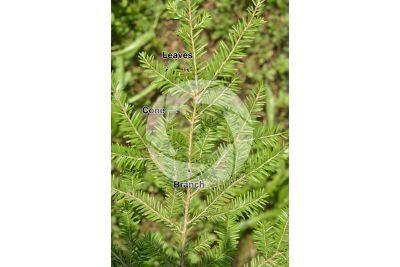 Taxodium distichum. Bald cypress. Strobilus