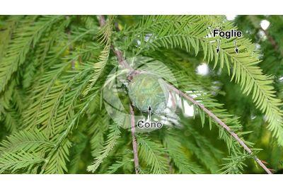 Taxodium distichum. Cipresso calvo delle paludi. Strobilo