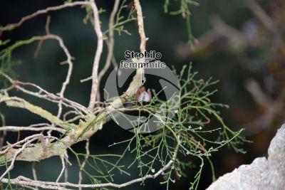 Tetraclinis articulata. Ginepro articolato. Strobilo femminile