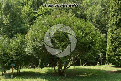 Thuja occidentalis. Northern white-cedar