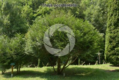 Thuja occidentalis. Tuia occidentale