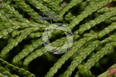 Thuja occidentalis. Tuia occidentale. Foglia. Pagina superiore