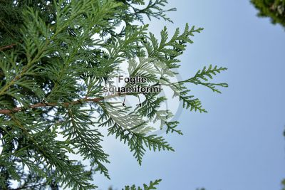Thuja occidentalis. Tuia occidentale. Foglia. Pagina inferiore
