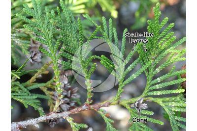 Thuja occidentalis. Northern white-cedar. Strobilus