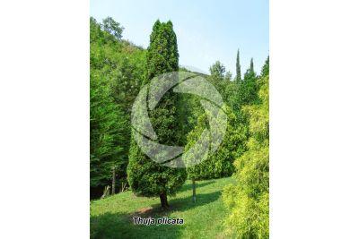 Thuja plicata. Giant cedar