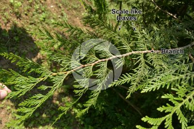 Thuja plicata. Giant cedar. Leaf. Upper surface