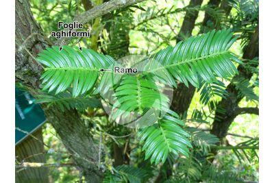 Cephalotaxus harringtonia. Cefalotasso. Foglia. Pagina superiore